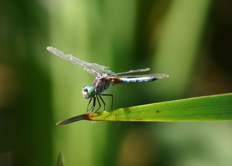 A late season Blue Dasher, Pachydiplax longipennis.  Looks tired and tattered. August 21, 2005.