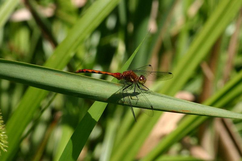 Bright Ruby Meadowhawk, Sympetrum rubicundulum.  June 19, 2006.