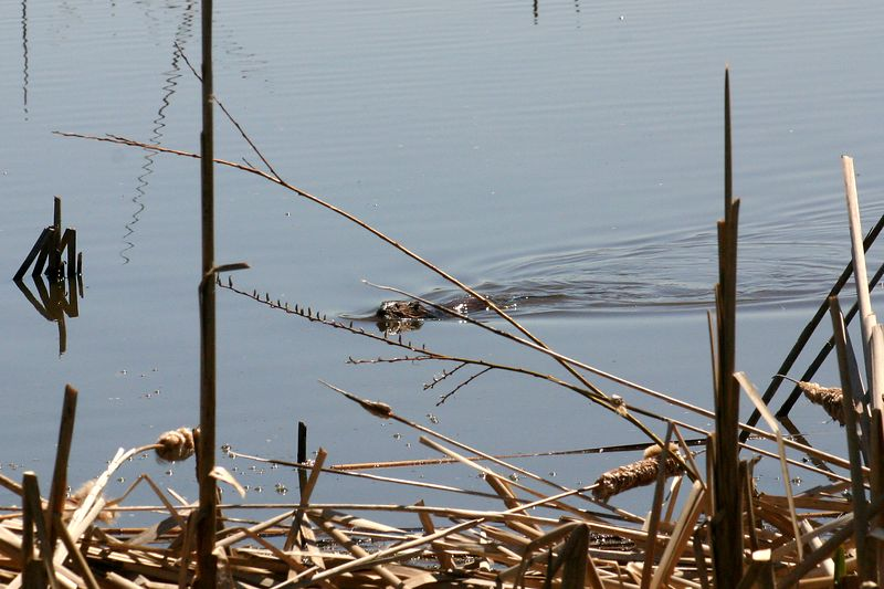 04/09/2005  Muskrat Swimming among the Dead Cattails