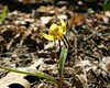 Another Trout Lily in the woods. 041605
