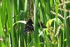 Breeding Black Swallowtails.  September 5, 2005.