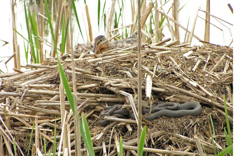 The Mallard hen is still sharing the muskrat mound with the water snakes.  May 15, 2005
