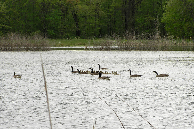 The Canada Geese have hatched, and the parents form phalanxes with the goslings in the center.  May 21, 2005.