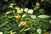 Jewelweed in the woods.  September 18, 2005.