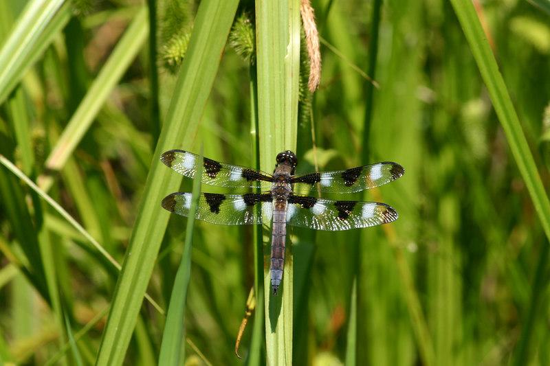 Twelve Spot Skimmer, Libellula pulchella, male showing wing spots and beginning of pruinesence on the abdomen.  June 19, 2006.