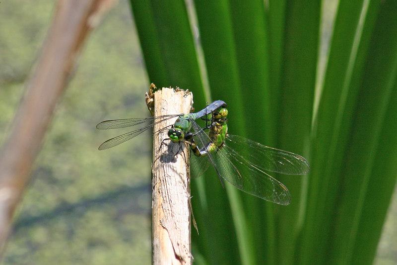 Pondhawks, Erythemis simpliccolis, in wheel position.  July 9, 1005.