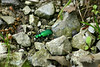 6 Spotted Emerald Tiger Beetle, Cicindela sexguttata, usually found this time of year on the path through the woods. The first time I saw one of these was right after the Emerald Ash Borer had been found in Ohio.  I was happy to identify it as a harmless and very pretty beetle. May 29, 2005.