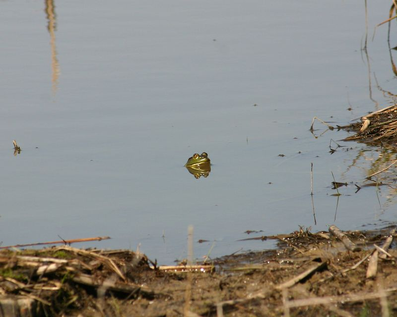 First frog to pose for me this year.  I like the reflection in the water. 041605.