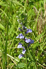 Lobelia were present in late August, but not common this year.  August 21, 2005.