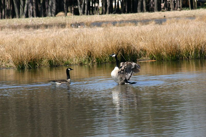 04/09/2005  Canada Geese