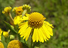 Sneezeweed appears in the late summer and early Fall in a few areas around the wetlands.  August 28, 2006.