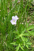 A Wild Geranium. These and the other ephemeral wildflowers here are found mainly in the wooded section.  May 8, 2005
