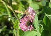 This bug has not been identified yet, but I love the angle on the clover flower.  October 1, 2005.