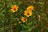Jeruselm Artichokes bloomed early August.  August 7, 2006.