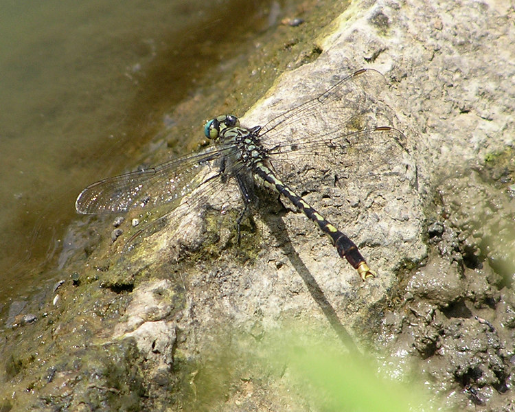 Unicorn Clubtail, Agrigomphus villosipes.  They remind me of helicopters, somehow.  They are beautiful creatures, but usually perch in the muddy edges of the wetlands, making for rather unattractive pictures.  June 19, 2005.