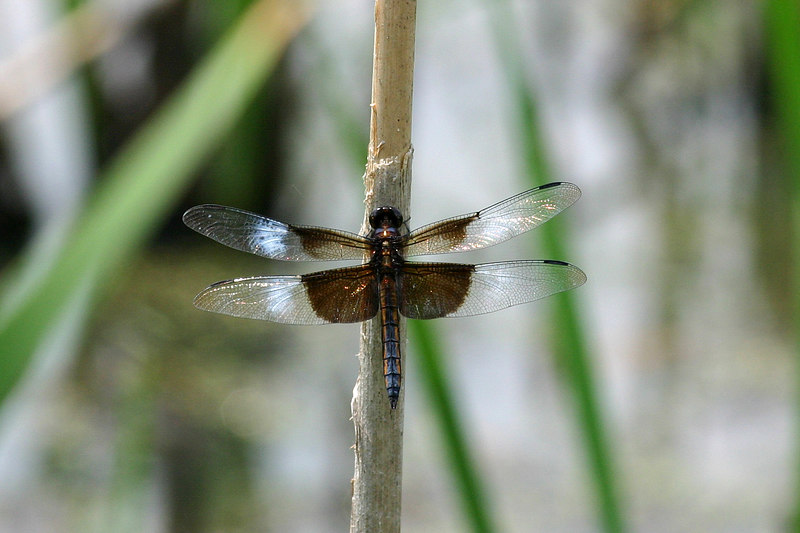 Young Widow Skimmer, Libellula luctosa.  The white is still patchy on its wings, and its abdomen is just starting to get some pruinesence.  July 4, 2005.