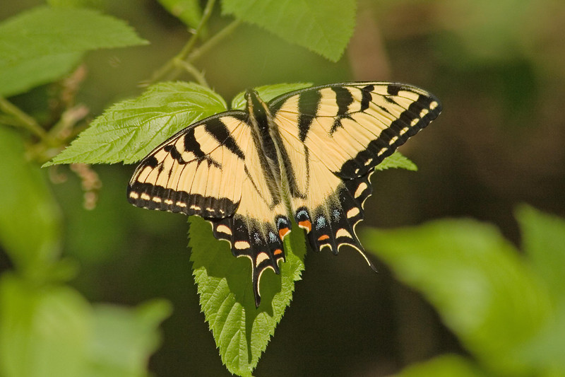 May 20, 1007.  The first Tiger Swallowtail of the season.  There were also some Duskywings, who insisted that I photograph them, too.  And one small Spring Azure.
