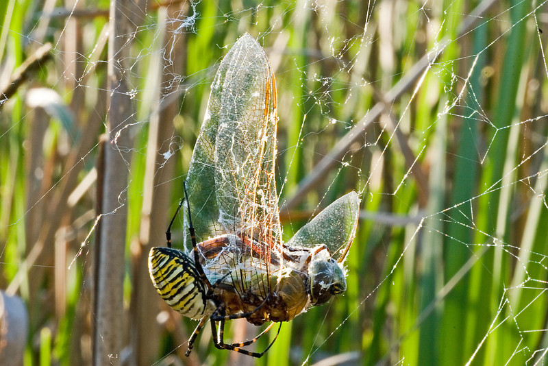 September 16, 2007.  One of my all time favorite shots.  The Wandering Glider caught by the Argiope is a large dragonfly, much bigger than the spider. lLooks like it messed up the web, but still was caught.