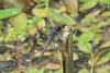 August 18, 2007.  Slaty Skimmers moved in this year.  They are not previously recorded for Lorain County.