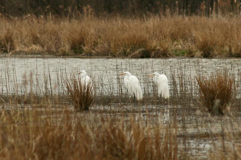 April 14, 2007. Egrets