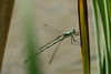 June 10, 2007. Elegant Spreadwing.  This was a first in Lorain County.
