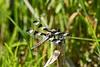June 10, 2007.  Twelve Spotted Skimmer.