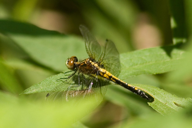 May 20, 2007.  One of the few dragons I saw.  There were two baskettails in the sunny patches in the wooded area and this dot-tailed whiteface sunning itself.  One darner hunting over the field.  Too much wind for flying.