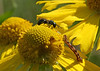 August 11, 2007.  This is one of my favorite shots.  I was checking out wildflowers with my new 90mm Macro lens, watching this inchworm.  Along came the Carpenter Bee, and faced it off.  I have other shots of the inchworm turning and inching away.