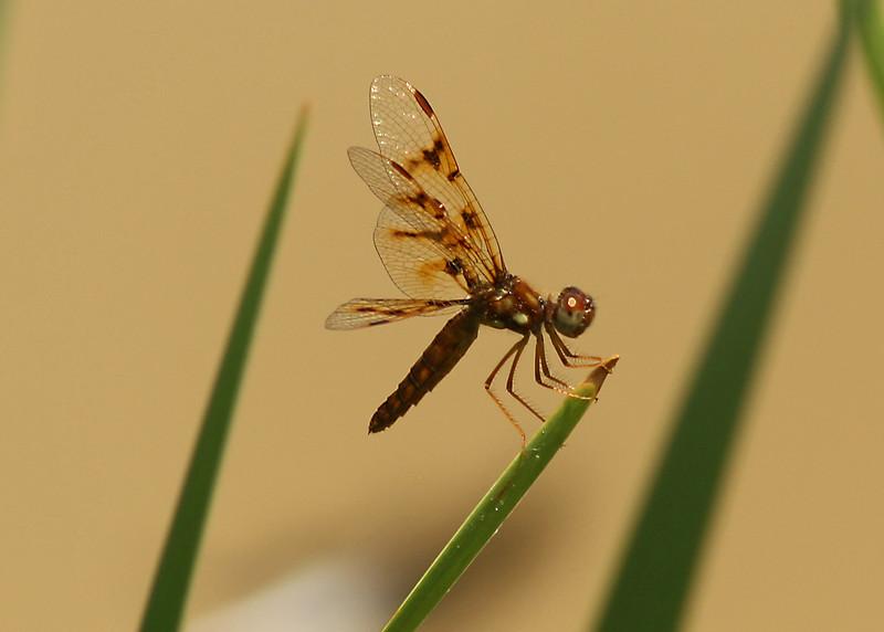 June 2, 2007.  Female Eastern Amberwing.