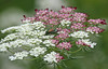 July 23, 2007.  Occasionally There are pink Queen Anne's Lace in the area, but I have never seen a bi-color before.