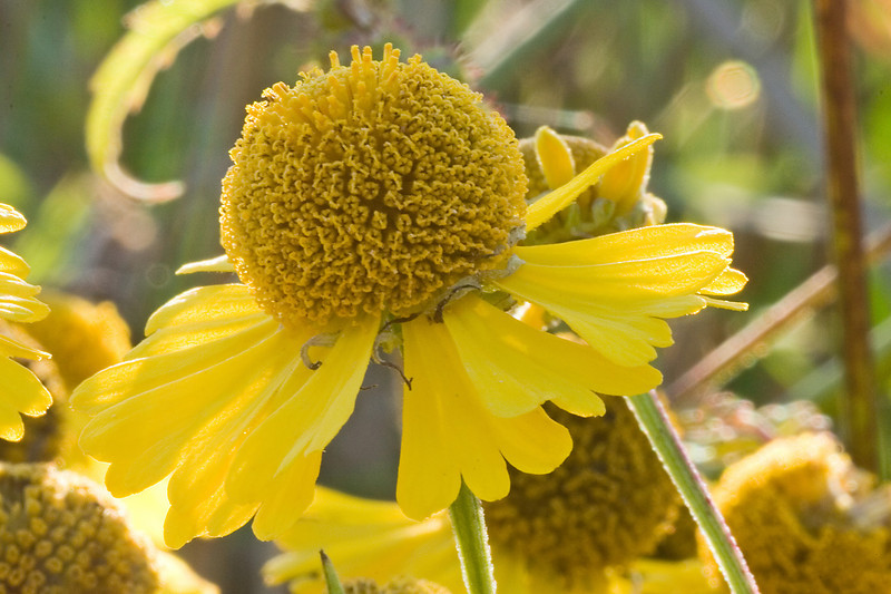September 16, 2007.  Sneezeweed.  I'm always trying to get a really good shot of this stuff.  This isn't it yet.