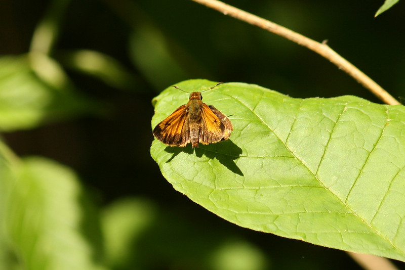 May 28, 2007.  Same type of skipper, similar area.  There were many of these that day.