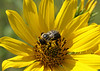 August 11, 2007.  Getting the hang of the Macro lens.  The bee was cooperative.