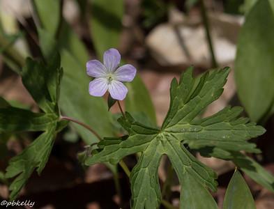 5/03/15.  Wild Geranium.  Geranium maculatum.