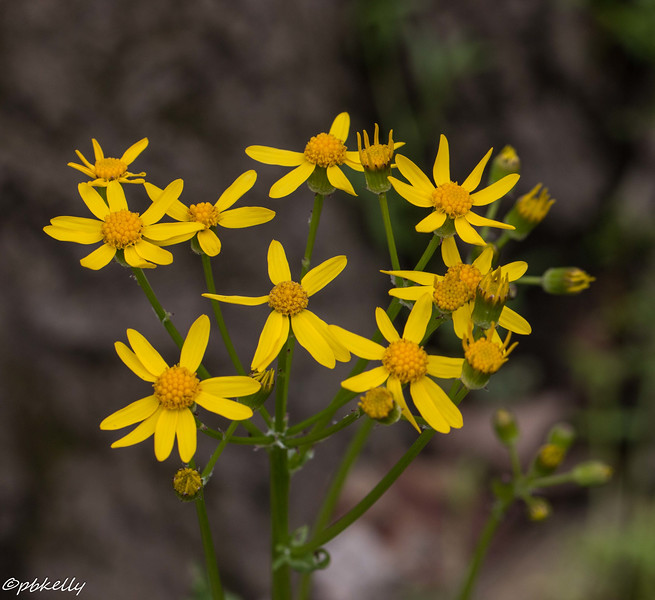 4-30-16.  Golden Ragwort, mainly found in the floodplain area.