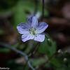 5-06-16.  Wild Geranium
