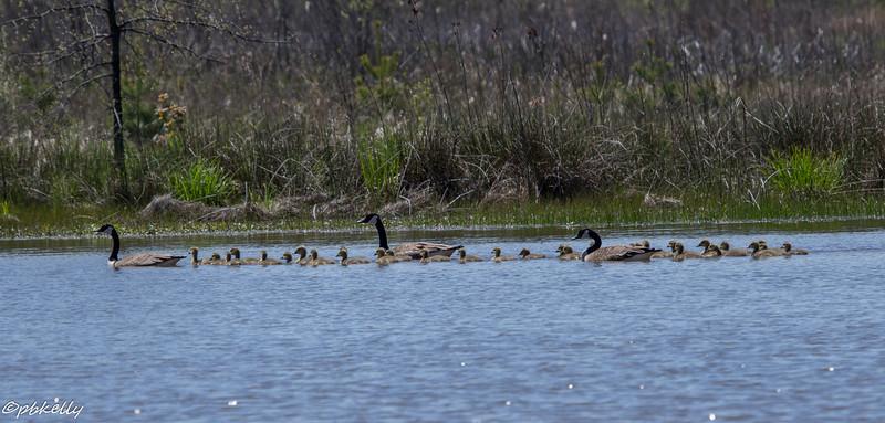 5-06-16.  Good hatch of goslings.