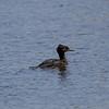05-19-16.  Juvenile Merganser passing through.  This isn't usual Merganser habitat.