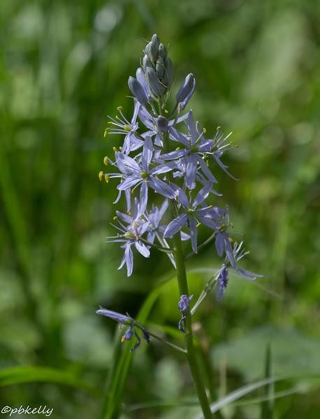 5-16-16.  Wild Hyacinth.  Another floodplain wildflower.