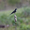 5-16-16.  An Eastern Kingbird  pretending to be a Red-winged Blackbird.