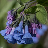 4-20-16.  Bluebells are an early floodplain flower.
