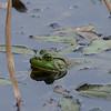 6-26-16.  Posing Bullfrog