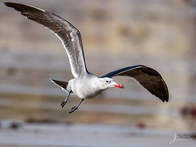 Heermanns Gull