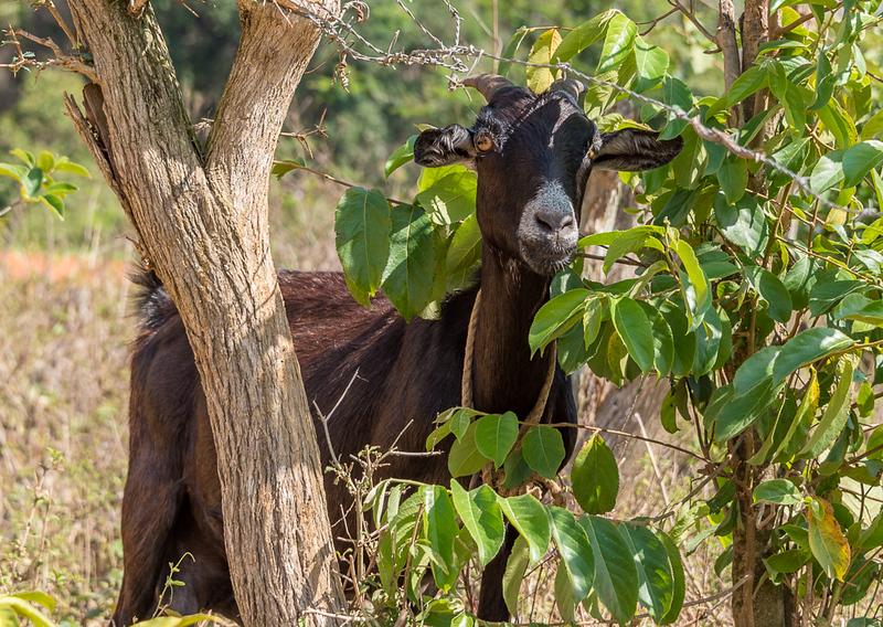 Goat on a Tobacco Farm, Trinidad Cuba