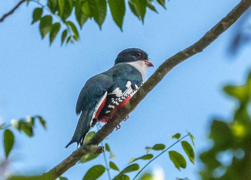 Trogon or Tocororo - The National Bird of Cuba