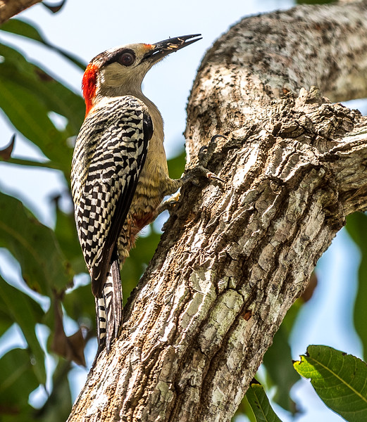 Red-bellied woodpecker w/grasshoper