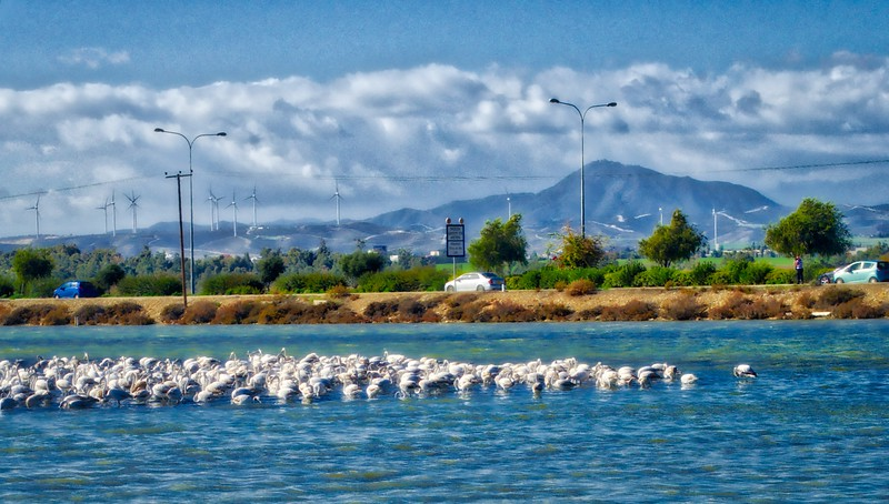 Flamingos in Larnaca