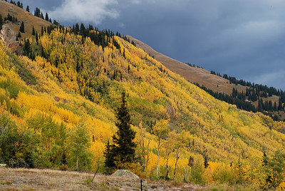 Aspen trees near Silverton, CO