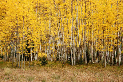 Aspen trees, between Silverton and Ouray, Colorado