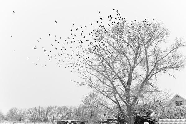 Christmas Birds, 2015